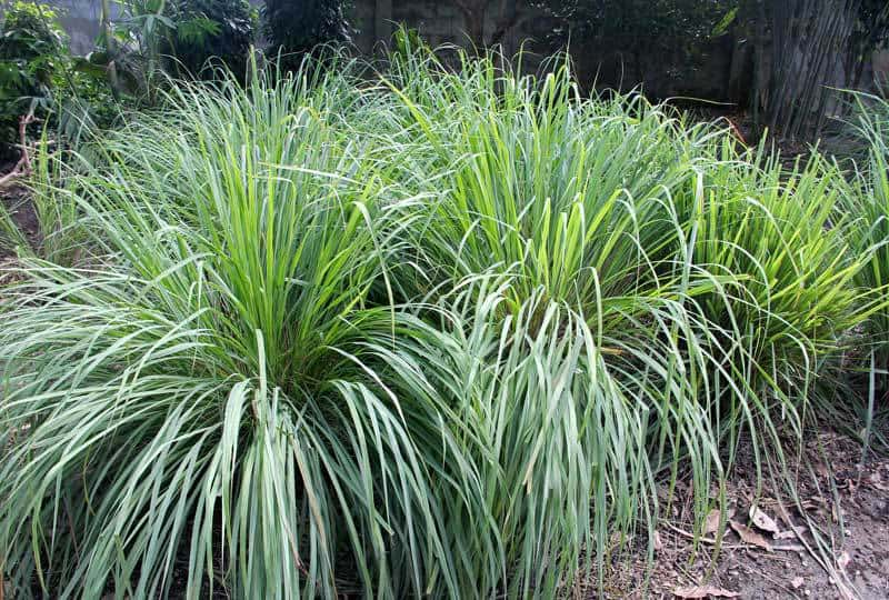lemon grass low maintenance garden 08312015 - Garden Design Low Maintenance