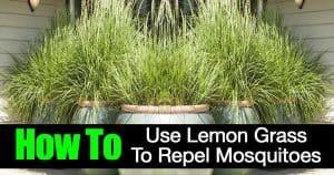 Potted lemon grass