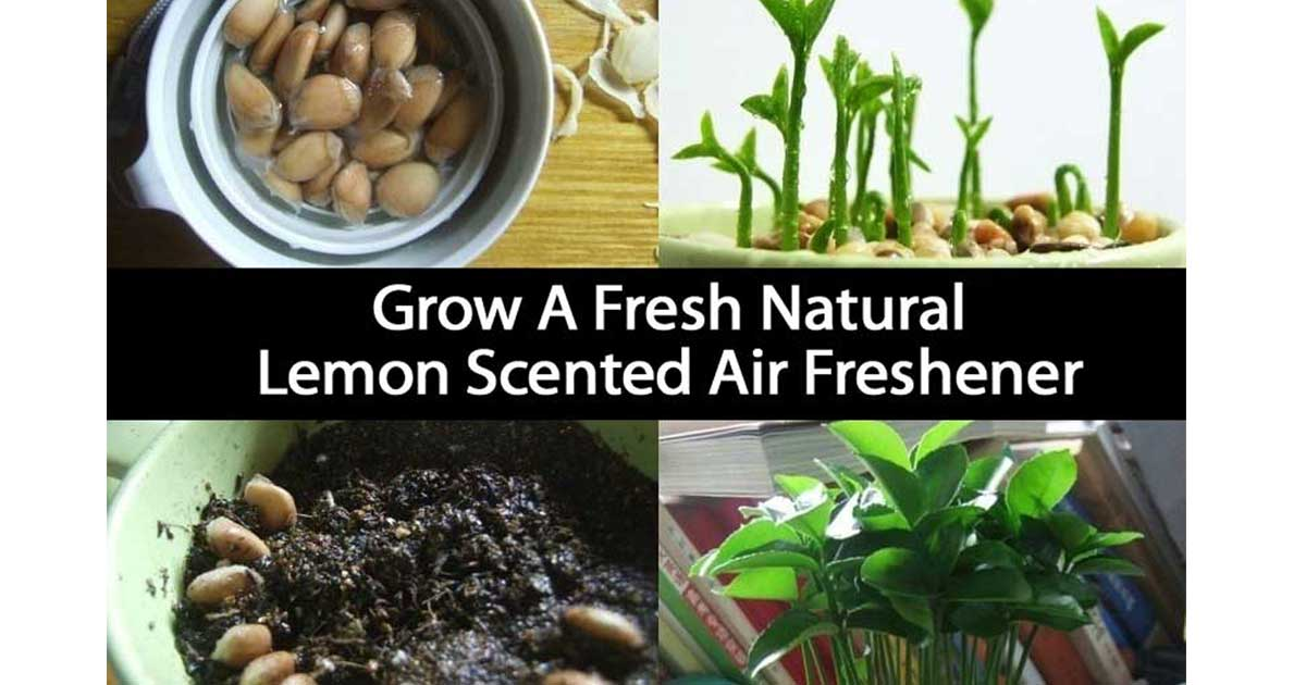 Grow a fresh natural lemon scented air freshener Planting lemon seeds for smell