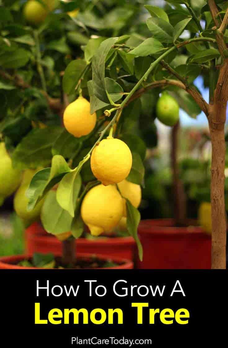 lemon fruit of the Meyer leon tree