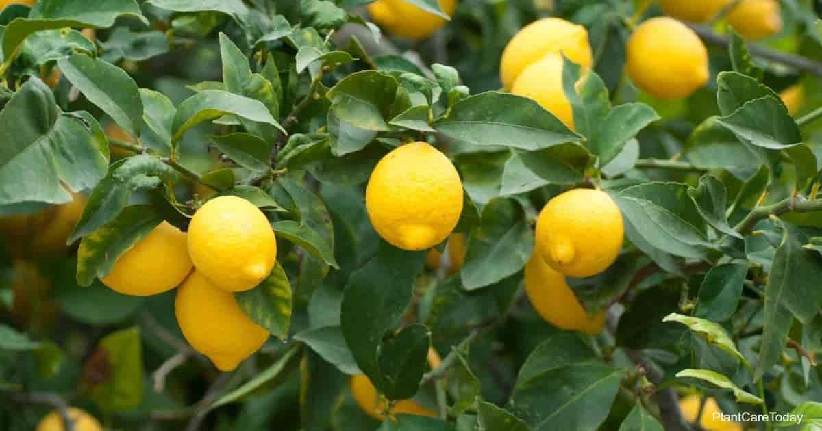 ripe lemons ready for picking or lemonade
