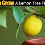 Lemon Tree: How To Grow Lemon Trees From Seed