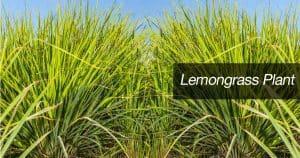 lemon grass plants growing in landscape