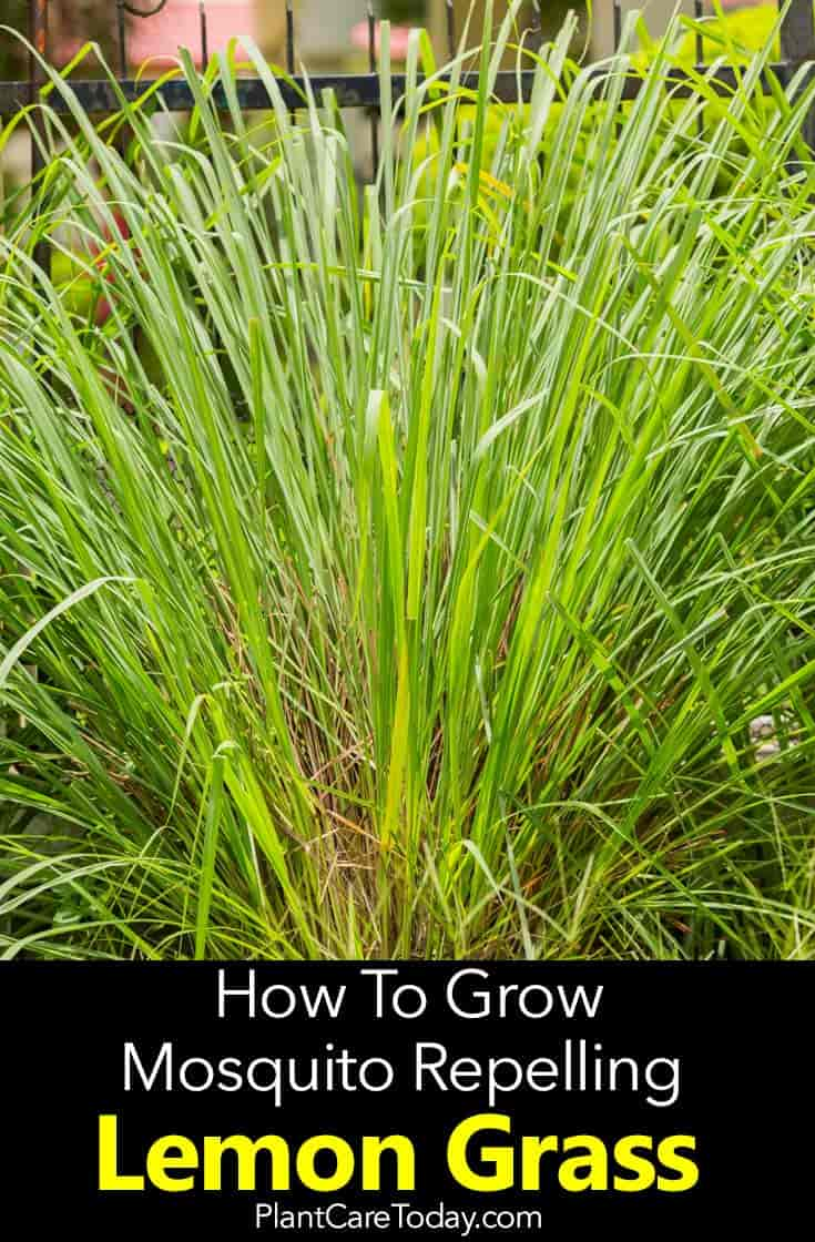 lemon grass growing in landscape