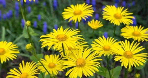 Daisy-like yellow flowers of the Doronicum Orientale plant