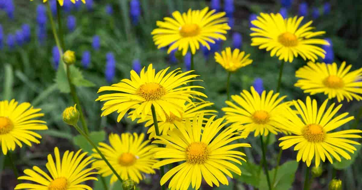 Daisy-like yellow flowers of the Doronicum Orientale plant