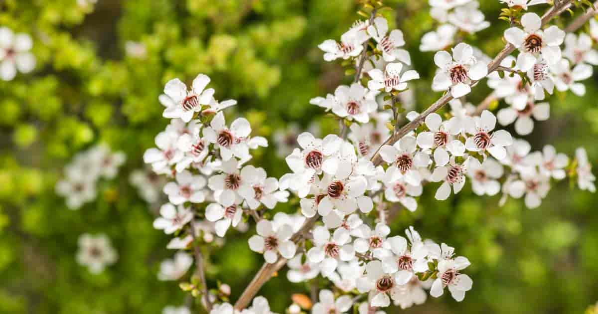 blooming New Zealand Tea Tree