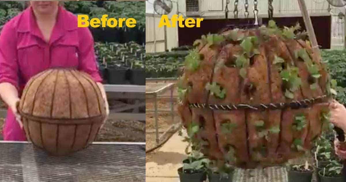 lettuce basket globe