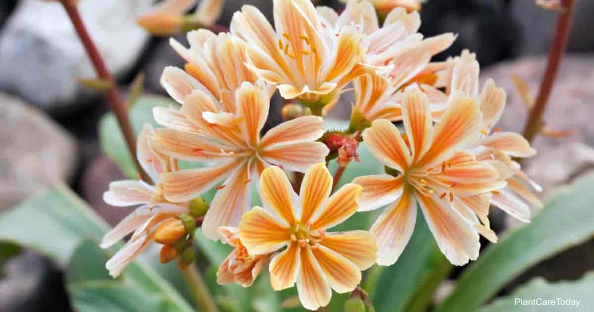Blooming Lewisia Cotyledon