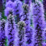 6 Great Reasons For Adding Gayfeather (Liatris) To Your Garden