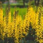 Golden blooms of the Rocket Ligularia Plant (Ragwort)
