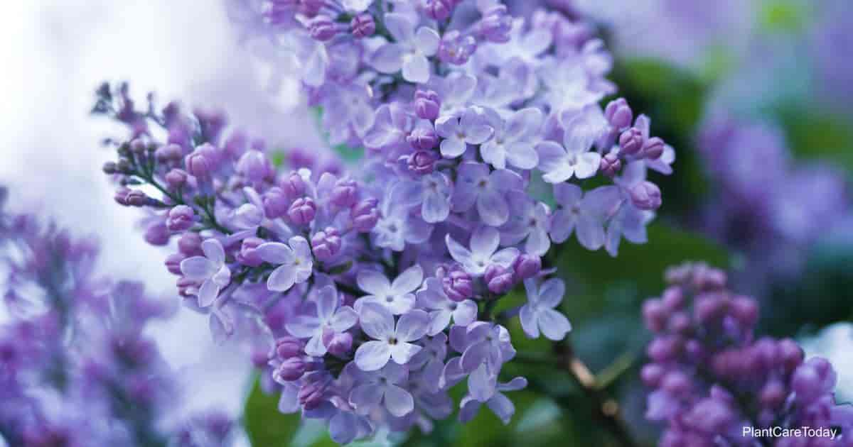 Flowers of the Lilac bush