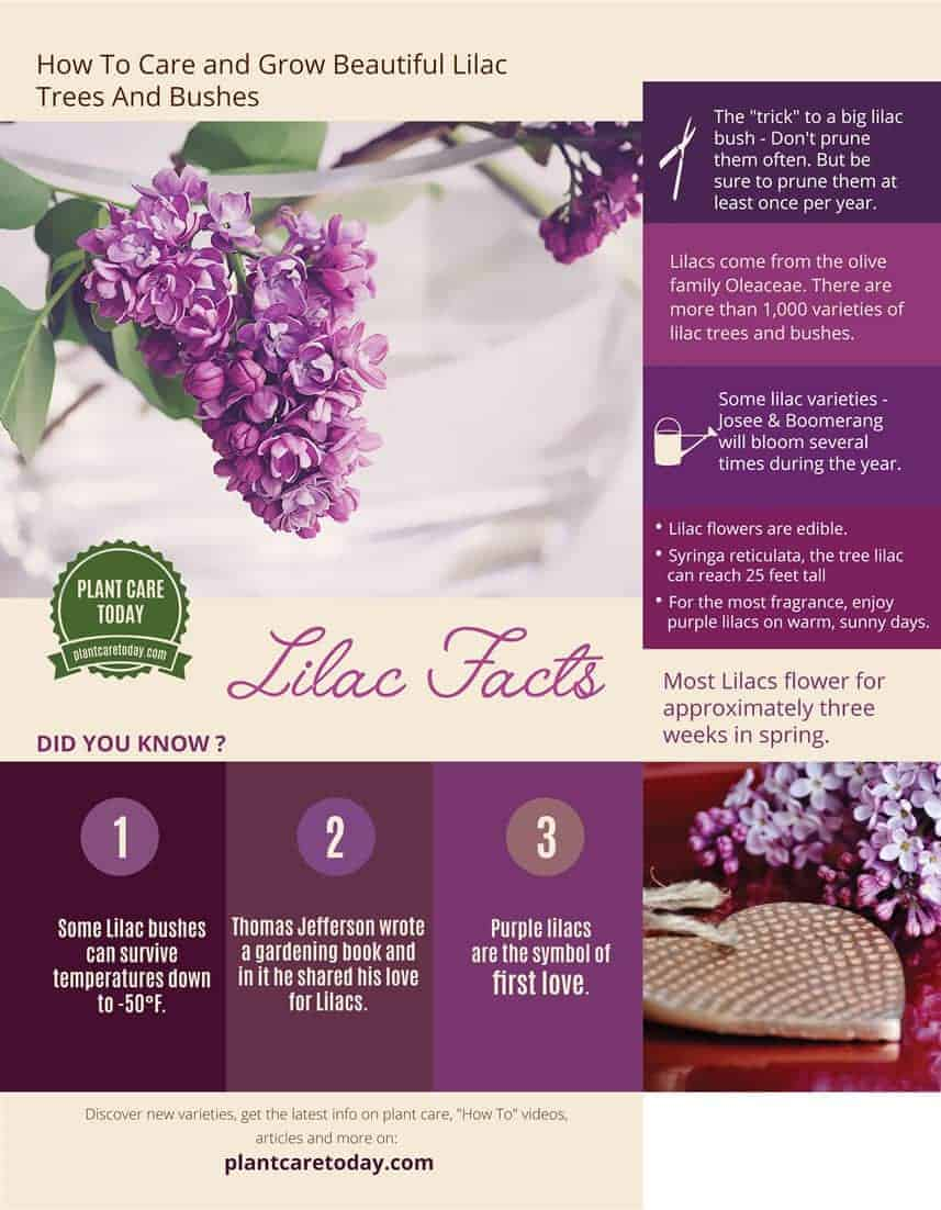 interesting lilac facts infographic