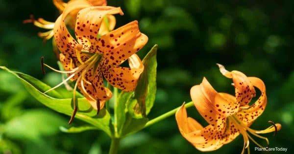 Blooming Turk's cap lily - Lilium Superbum