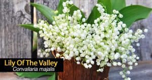 flowers of the lily of the valley