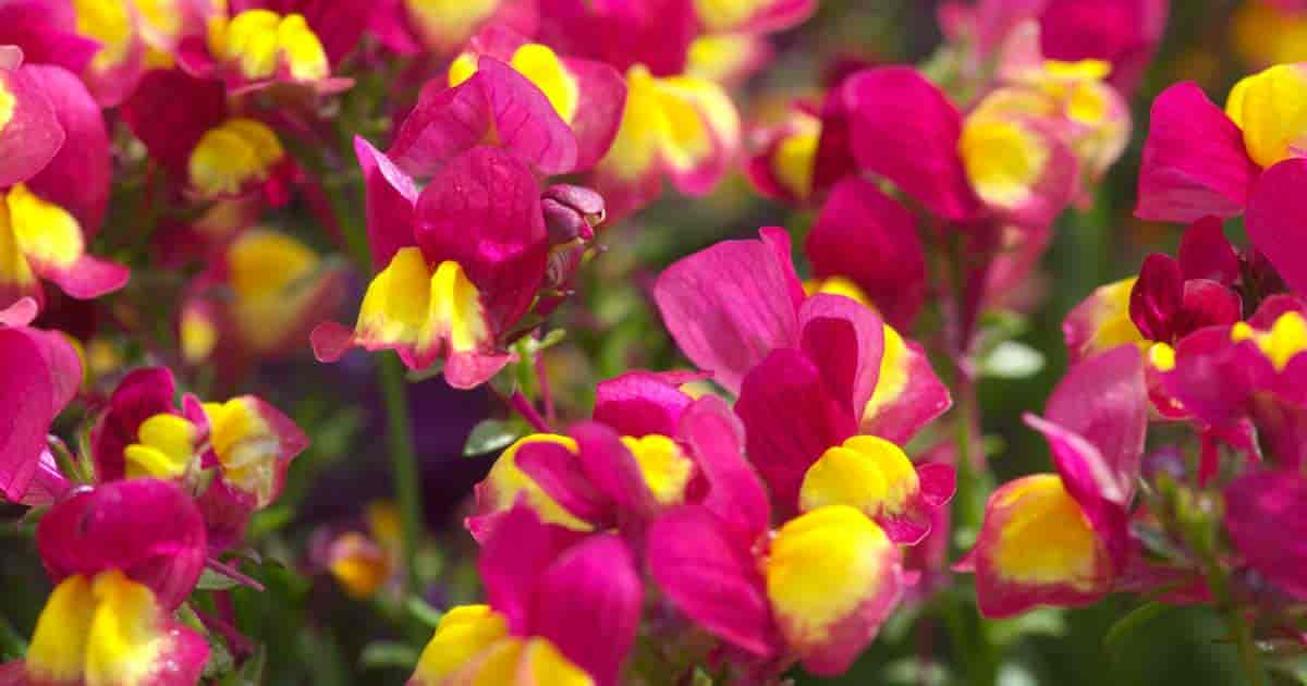 Toadflax Flower - Linaria
