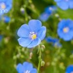 Blue Flax Secondary Kw: Linum Perenne