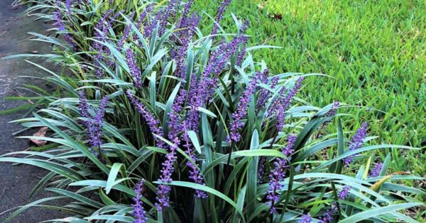 Liriope mascara in flower used as a border in the landscape.