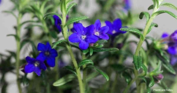 blue purple flowers of Lithodora diffusa