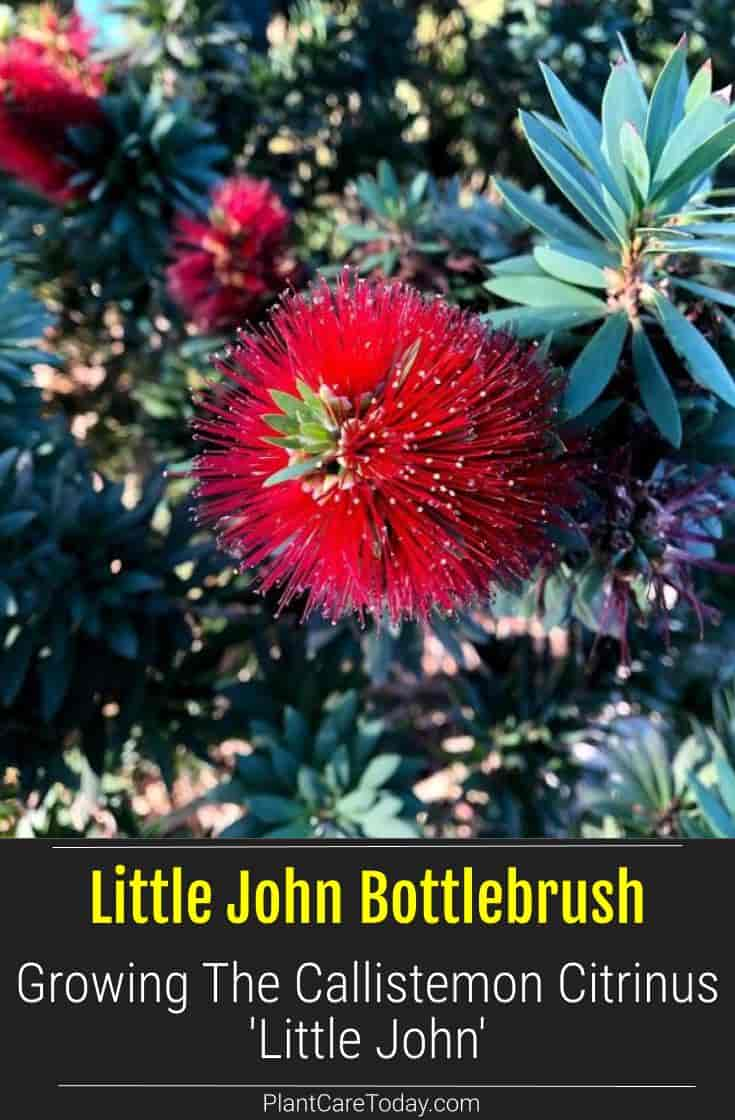 red bloom of Little John Callistemon Citrinus