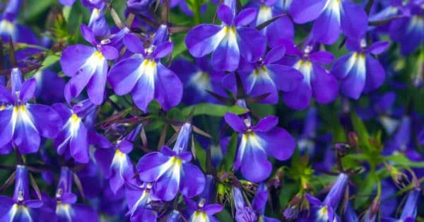 "the ""blue"" of Lobelia Flowers"