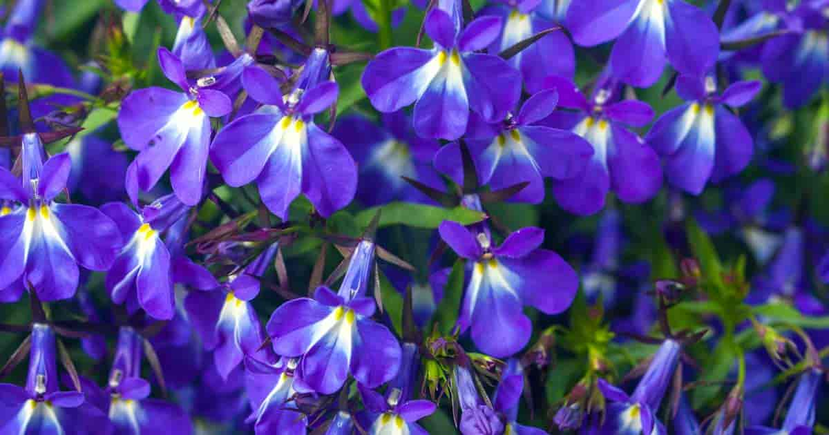 "the ""blue"" of Lobelia Flowers"