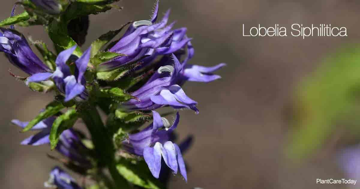 Flowers up close of Great Blue Lobelia (Lobelia Siphilitica)