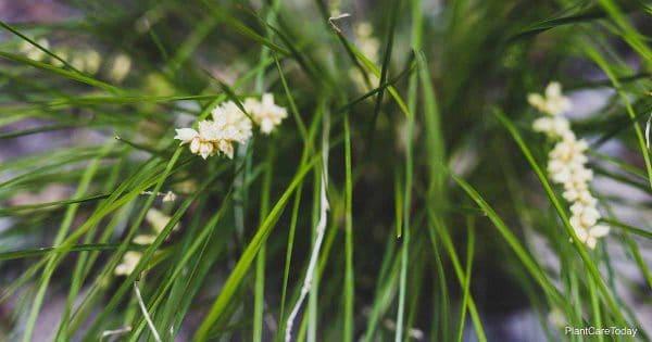 Lomandra breeze with creamy white flowers