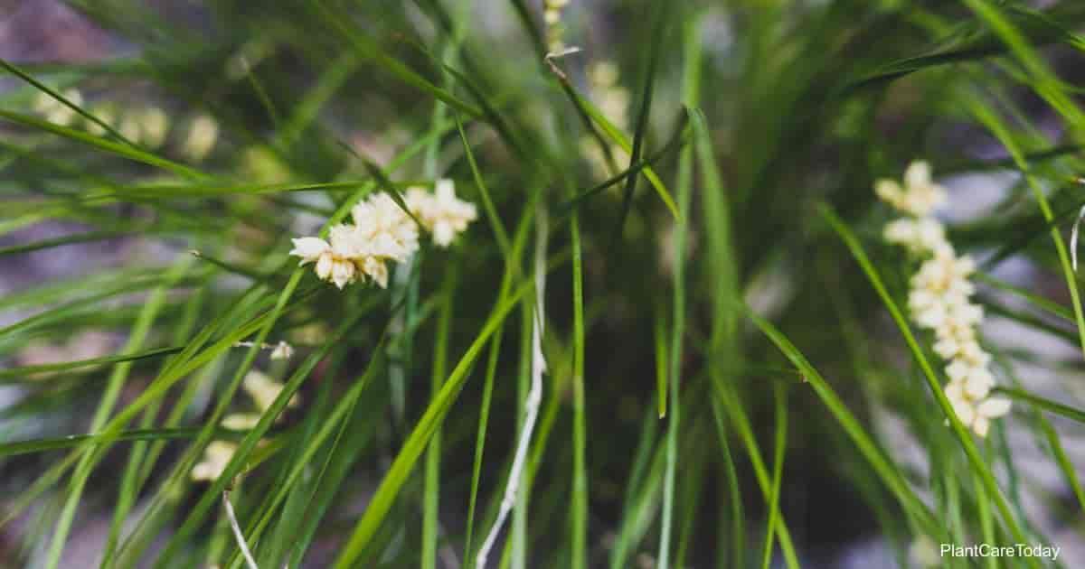the ornamental Lomandra Grass