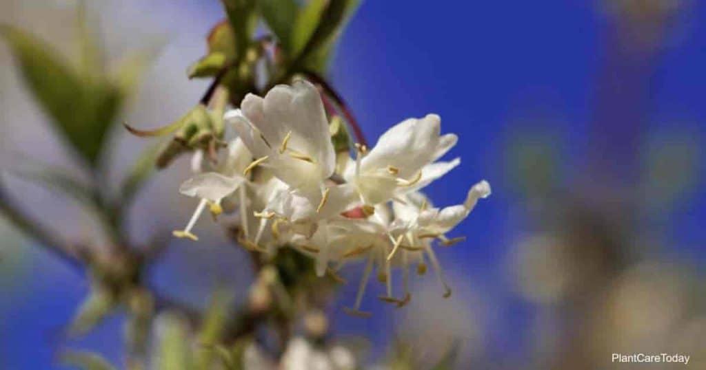 Blooming lonicera fragrantissima (winter honeysuckle)