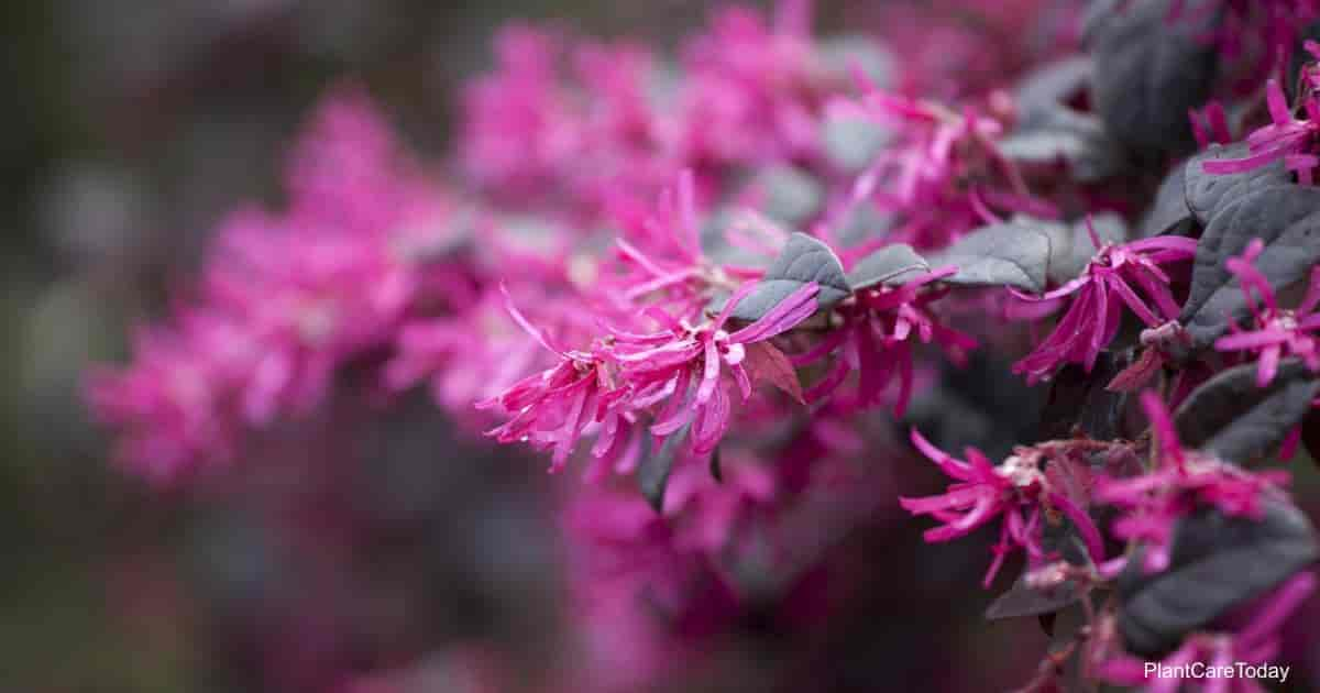 dark purple foliage and flowers of the Loropetalum Chinense (Chinese Fringe Flower)