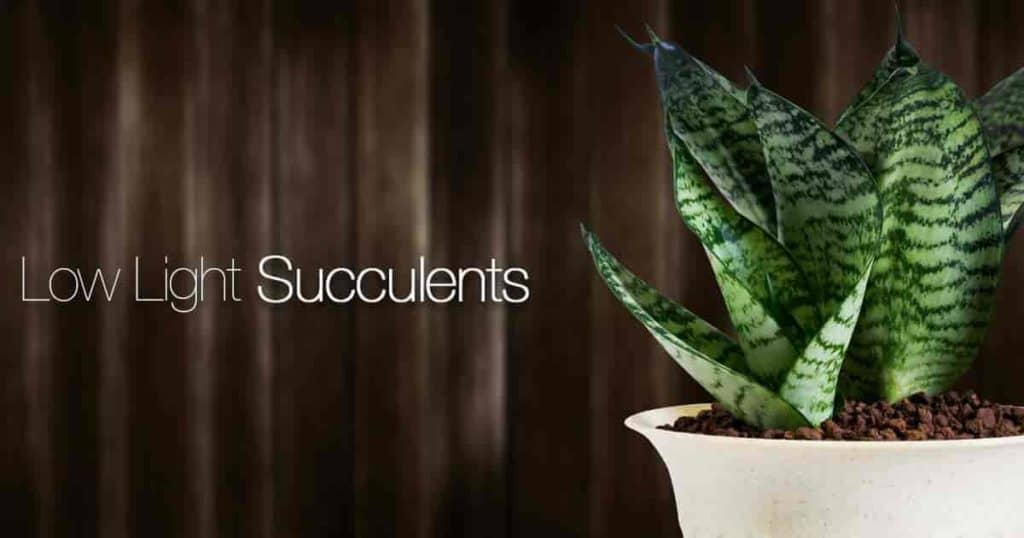 Bird Nest Snake Plant one of the best succulent plants for low light.