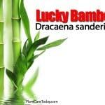 Lucky Bamboo – Dracaena sanderiana