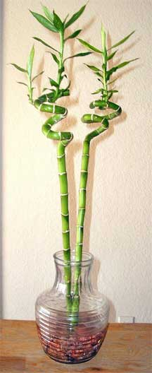 Lucky Bamboo: How To Grow And Care For Dracaena sanderiana