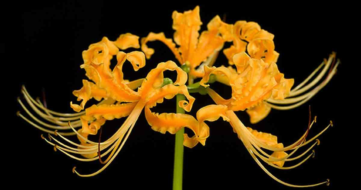 Close up of Lycoris area - The Golden Hurricane Lily