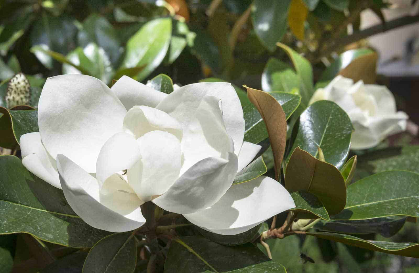 Adding Fragrant Shrubs Scented Plants For Garden Fragrance
