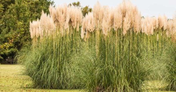 a stand of maiden grass