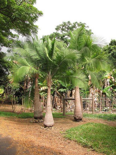 majesty-palm-022814