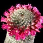 Mammillaria cactus in full flower