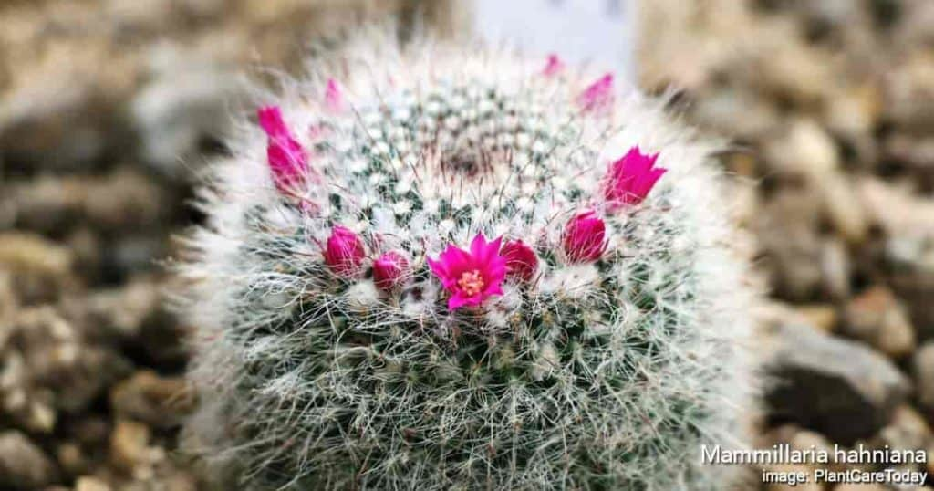 blooms on a mammillaria cactus