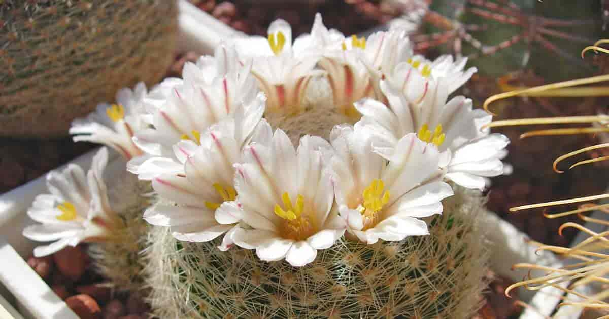 Close up of Mammillaria lenta white flower