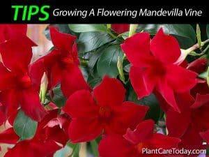 Flowers on a Mandevilla vine