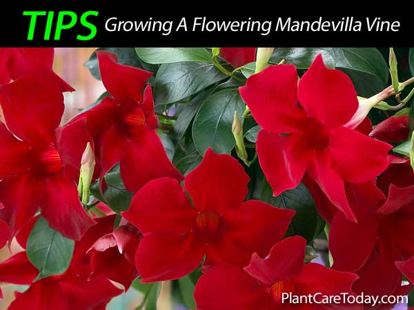 Mandevilla Plant Care How To Grow The Colorful Mandevilla