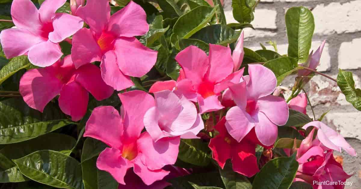 Attractive mandevilla plant flowers