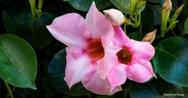 Flowers of the Mandevilla vine