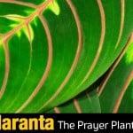 Prayer Plant Care – How To Grow Maranta Leuconeura