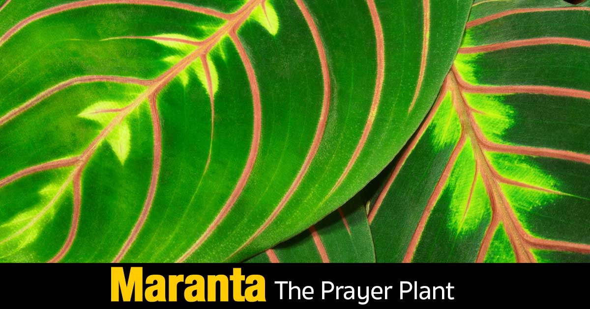 leaves of the maranta prayer plant