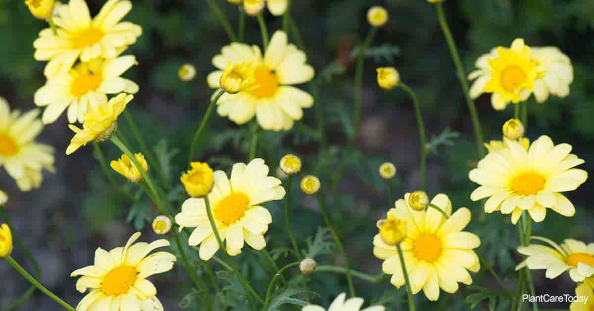 Marguerite Daisy (Argyranthemum Frutescens Plant) delicate showy nature