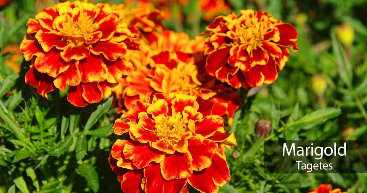 marigold flowers in full color