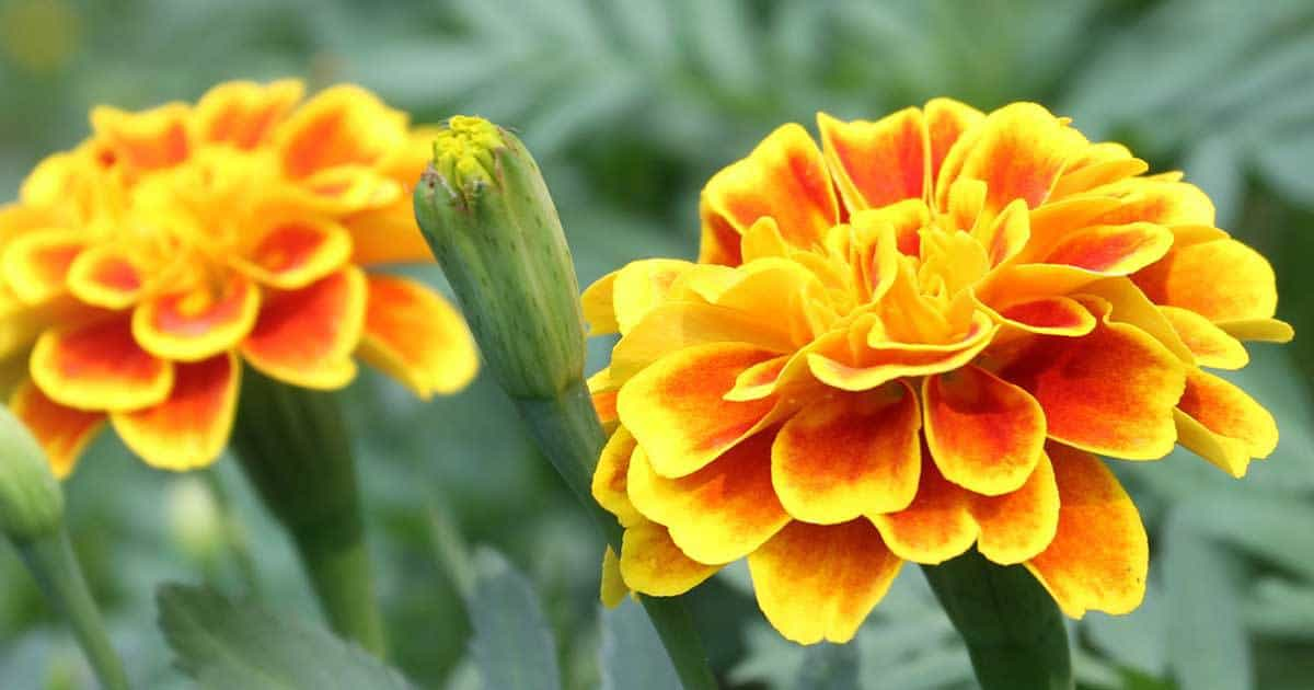 always popular annual flower the marigold